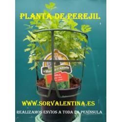 Planta de perejil