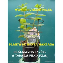 Planta de Menta manzana