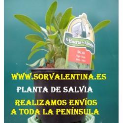 Planta de Salvia