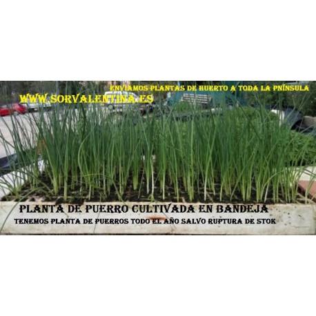 Plantas de pueros en bandejas
