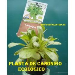 Planta de Canónigo ecológico