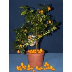 Naranjo  enano Kunquat Nagami.