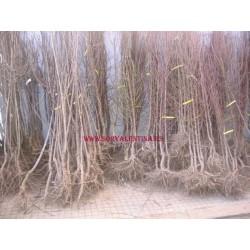 Árbol frutal de Nashi  a raíz desnuda