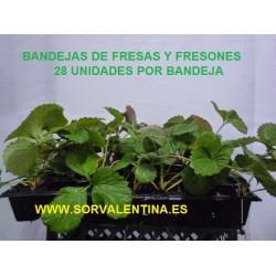 Planta de fresas en bandejas de 28 unidades