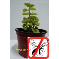 Planta crasa antimosquito