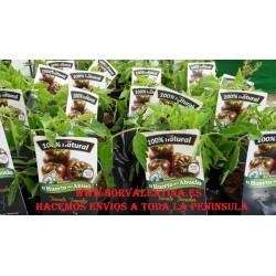 Planta de tomate negro, planta de tomate  tomaku