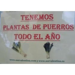 Planta de puero en bandejas
