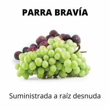 Parra o vid Bravía, portainjertos sin injertar.
