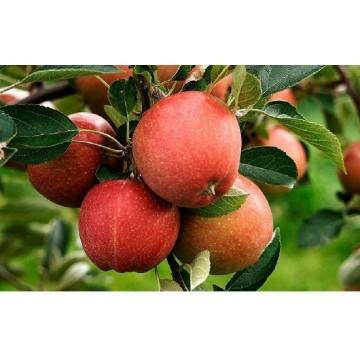 Arboles Frutales en maceta: ciruelos, perales, paraguayos, caquis, manzanos, nísperos, higueras, cerezos, nectarinas, pistacho
