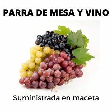 Planta de viña en maceta, planta de uvas de mesa en maceta