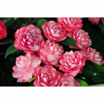 Envío online arbustos con flores a toda la península, encarga tu arbusto especifico para ti entre toda la variedad que disponemos