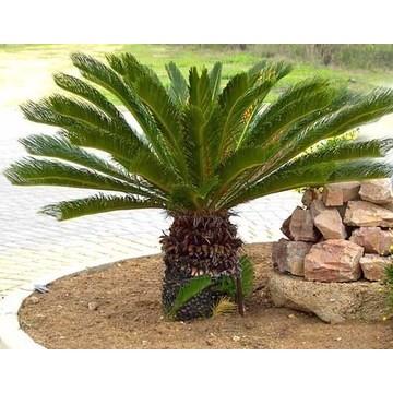 Envío online de palmeras a toda la península, en maceta para decorar jardines y terrazas tenemos gran variedad