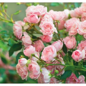 Envío de gran variedad de plantas de rosales para exterior de decoración en maceta a toda la península.